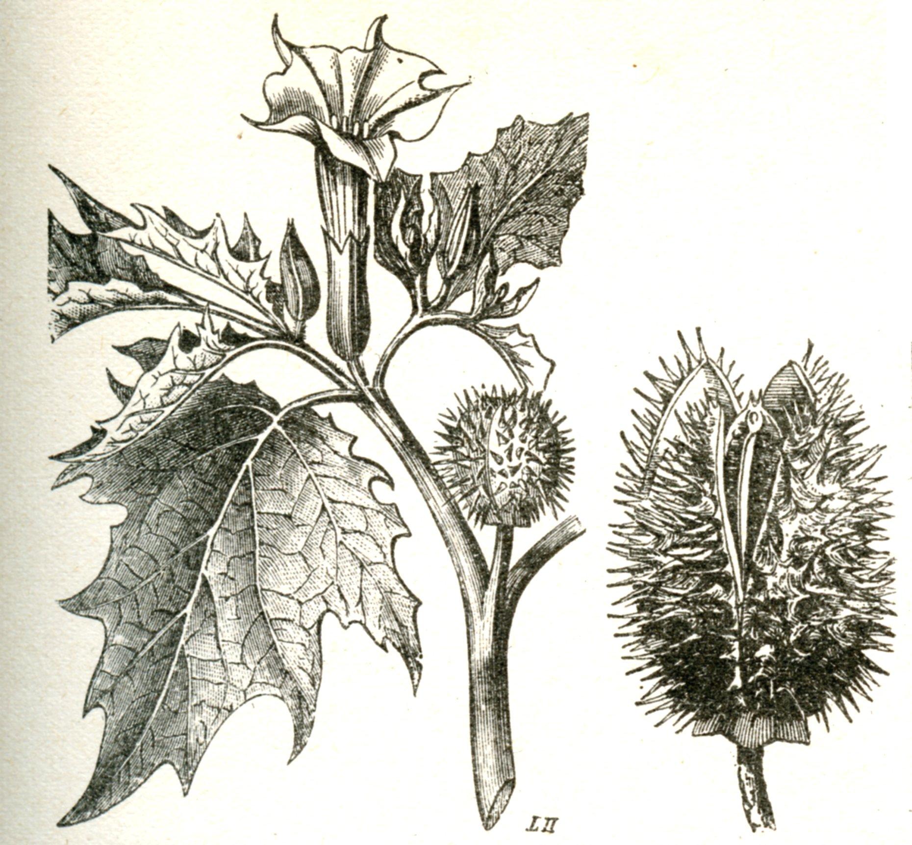 danger fleurs de datura